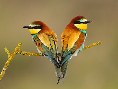 European Bee-Eaters (Merops apiaster), Pair during nesting period. Israel